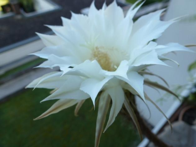 Kaktusblüte Königin der Nacht