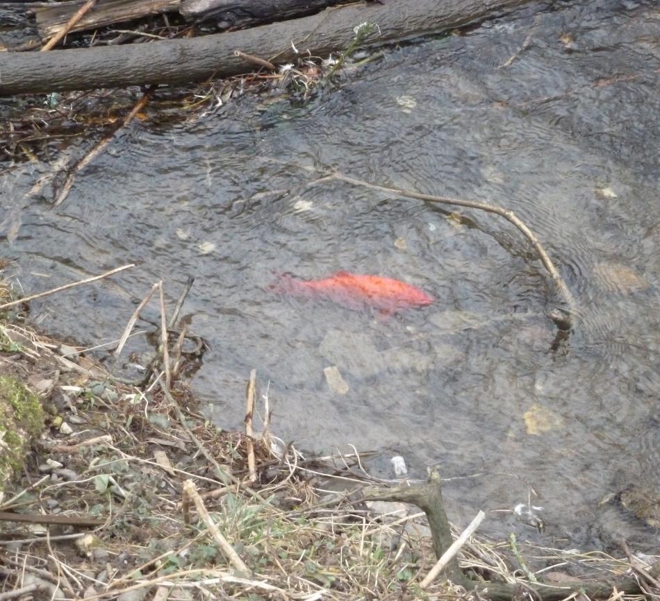 Ein ausgesetzter Goldfisch in der Ahr