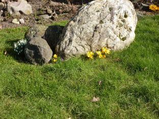 Gelbe Krokusse am Felsen