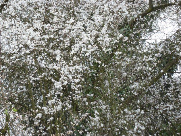 Weißer Blütenbaum