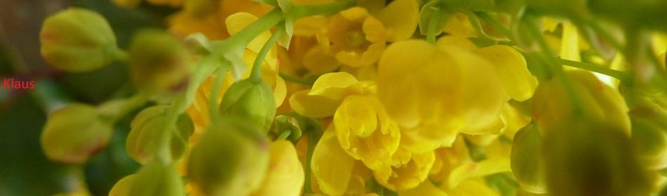 Blüten vom Mahoniebusch