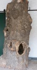 Ein Eichenbaum Mittelstück