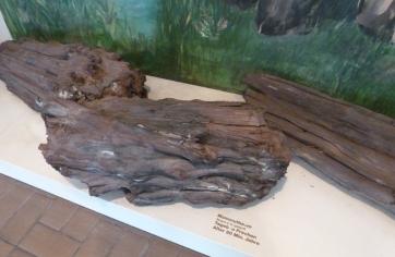 Mammutbaum alter 20 Mio.Jahre