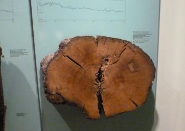 Baumscheibe Rheingrund vom 443 vor Chr. bis 212 nach Christi
