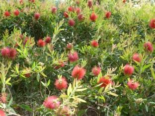 rote Blütenbüsche