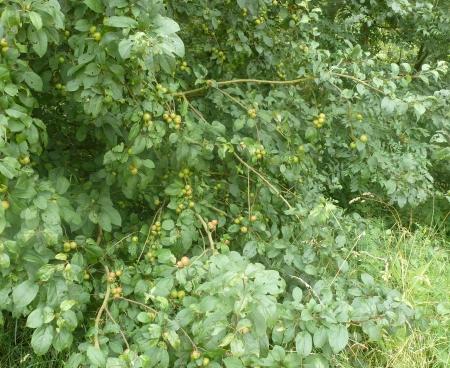 Wilder Apfelbaum