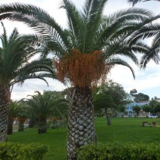 Palmen mit Früchten