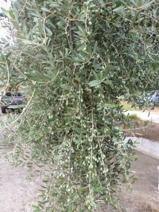 Grüner Olivenzweige