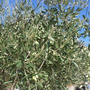 Grüne Olivenbaum