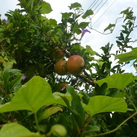 Granatapfelfrüchte