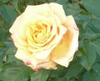 Eine Rose ans ewiges Gedenken
