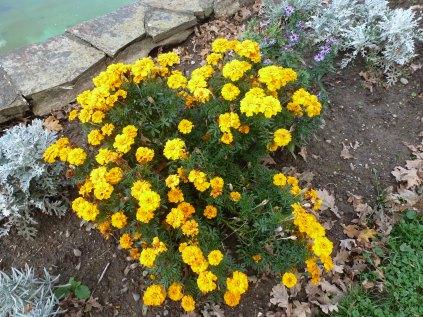 gelbe Tagetes