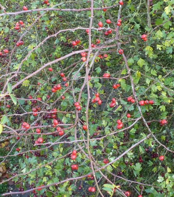 Rote Beeren an der Ahr