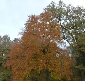 Der Laubbaum im Herbstgewand