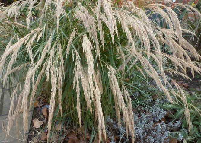 Graspflanze im Herbst