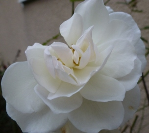 Eine weiße Rose für euch