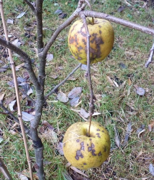 Die letzten Äpfel