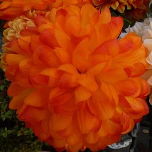 Dahlienblüte