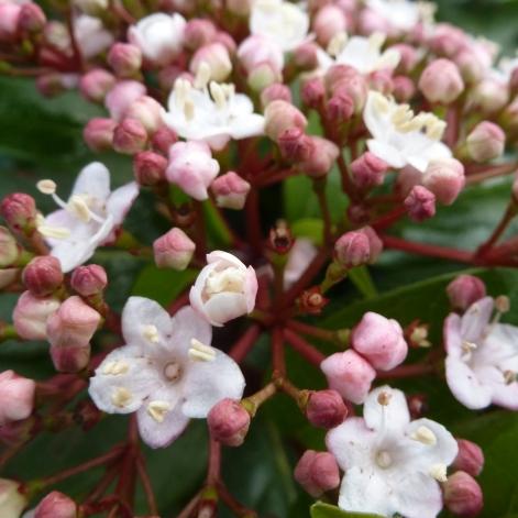 Rot weißer Blütenbusch