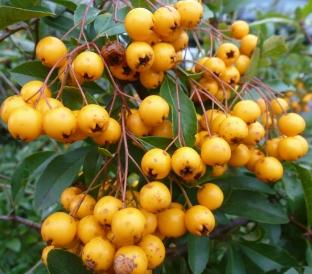 gelbe Beeren