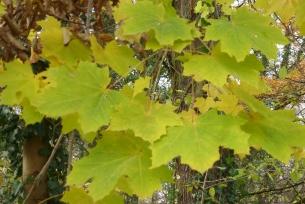 Ebereschenblätter