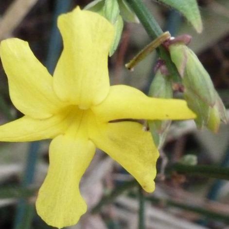 gelbe Blüte im Herbst