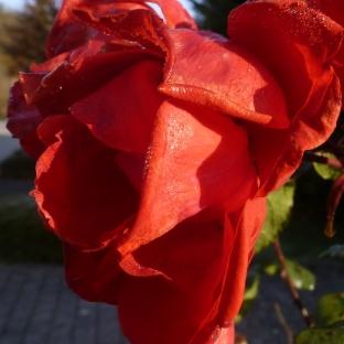 Rosenblüte nach dem Frost