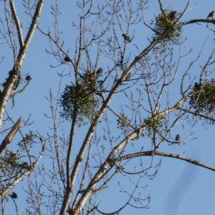 Die Mistelnester im Baum