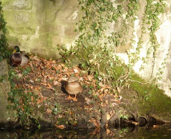 Entenpaar