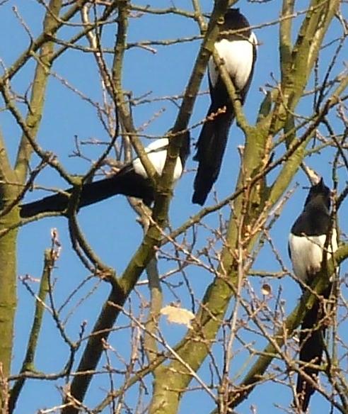 3 Elstern im Baum