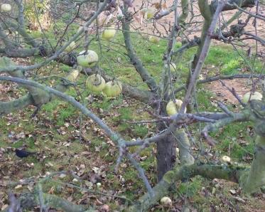 Apfelbaum im Dezember