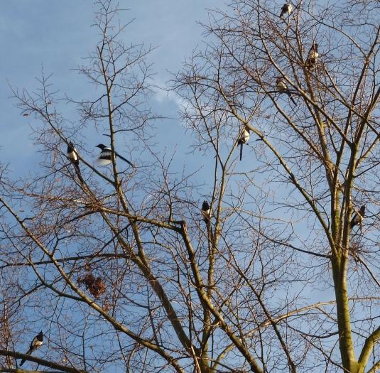 Die Elstern in dem Baumgipfeln