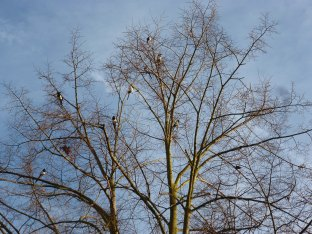 Die Elstern in der Baumkrone