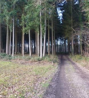Tannenwald am Golfplatz