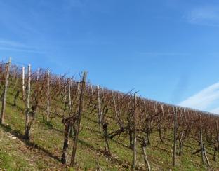 Weinreben im Winter