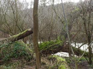 Uralter Baum an der Ahr
