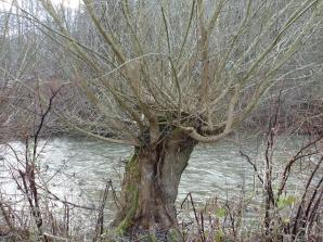 Weidenbaum an der Ahr