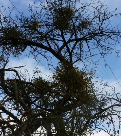 Baum mit Mistelbüsche