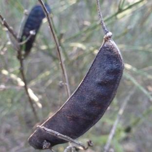 Samenschote vom Ginsterbusch