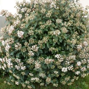 Weißer Blütenbusch im Januar