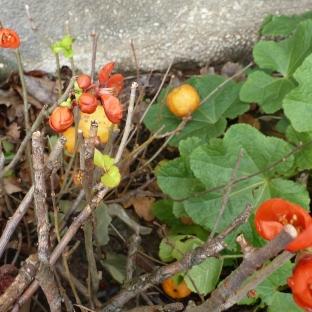 Blüten mit Zierapfel
