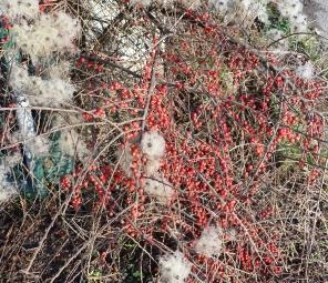 Rote Vogelbeeren