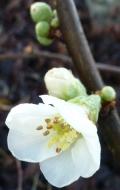 Weiße Blüte am Busch