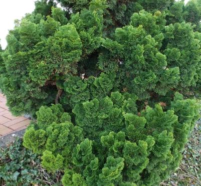 Grüner Winterbusch