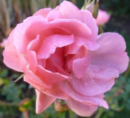 Die Rosenblüte im Januar