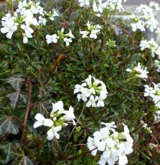 Weisser Blütenbusch