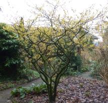 Forsythienbaum