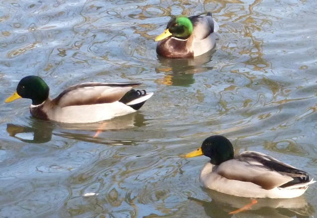 Drei Enten im Schwanenteichsee