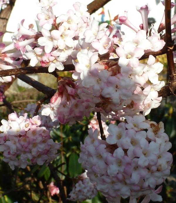 Frühblühten Busch
