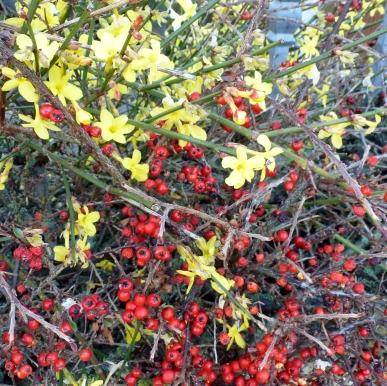 Rote Beeren ,gelbe Blüten